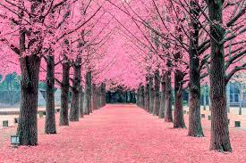 pink tree nami island in korea pink tree nami island in ko flickr