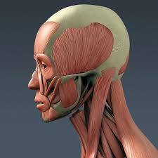 The Human Anatomy Muscles 3d Model Of Human Muscular System And Skeleton Anatomy Muscles