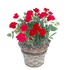 flower plants red mini rose flowering plant discount roses arttowngifts com