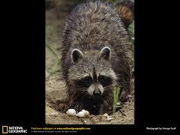 raccoon picture raccoon desktop wallpaper free wallpapers
