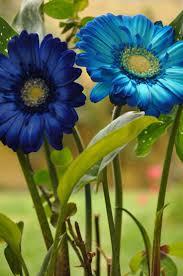 blue flowers in may australia flowers