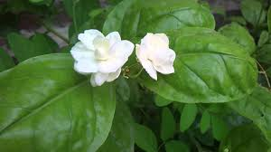 Jasmine Flowers Jasmine Flower Youtube