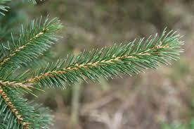 black hill spruce bengtson u0027s u cut christmas trees