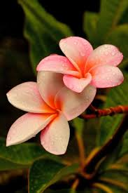 plumeria flower best 25 plumeria flowers ideas on colorful flowers