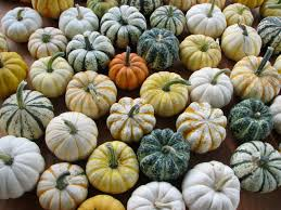 the ornamental mini pumpkins lirsc