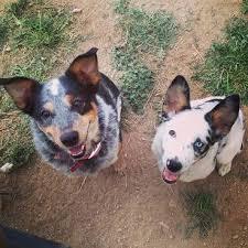 australian shepherd cattle dog 84 best texas heelers images on pinterest texas blue heelers
