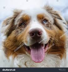 australian shepherd jack russell terrier australian shepherd cute face look closeup stock photo 123987604