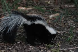 into the wild the beautiful majestic skunk