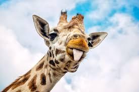 the internet u0027s most famous pregnant giraffe still hasn u0027t given birth