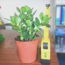 elegant bonsai tree indoor house plants creative maxx ideas
