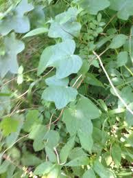 vine u2013 vcu field botany official site