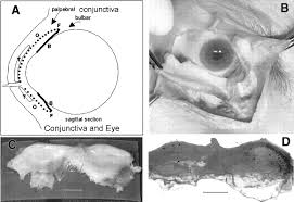 Goat Eye Anatomy Conjunctiva Associated Lymphoid Tissue In The Human Eye Iovs