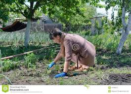woman working in the vegetable garden stock image image 34469977