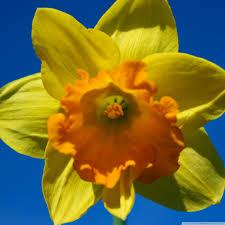 daffodil flower hd desktop wallpaper widescreen high