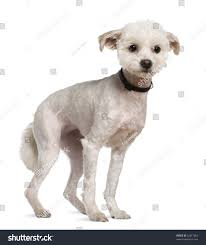 bichon frise 4 months old bichon frise 5 years old standing stock photo 52817053 shutterstock