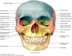Parts Of Ethmoid Bone Anterior View Of The Bones Human Anatomy Chart