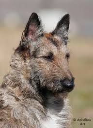 belgian sheepdog and cats belgian shepherd dog a k a belgian sheepdog or chien de berger