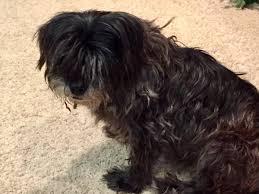 bedlington terrier seattle found dogs in seattle wa lost my doggie