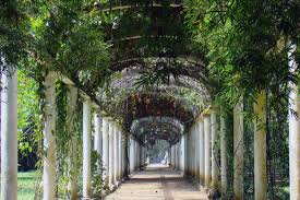 Plants For Pergola by Vines For The Pergola Softwoods
