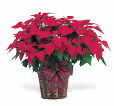 holiday poinsettia cm112 in glenside pa penny u0027s flowers