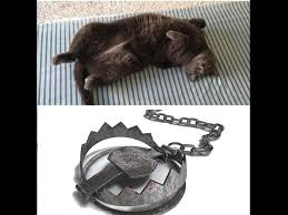 Cat Trap Meme - 20 hilarious memes and photos about the hazards of cat ownership