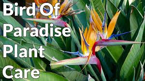 Tree Care Tips To Make by Bird Of Paradise Plant Care Tips Youtube
