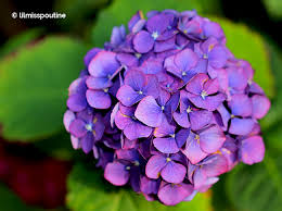 purple hydrangea pink and purple hydrangeas w h sim photography