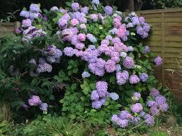 hydrangea in full shade gardening forum gardenersworld com