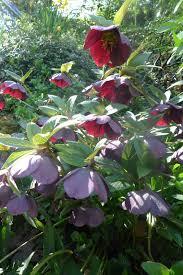 snowdrop sundays a yorkshire garden designer