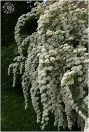 hedging plants budget wholesale nursery best 25 front yard hedges ideas on pinterest hedge fence ideas