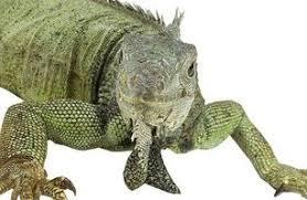 imágenes de iguanas verdes cómo atrapar escapado iguanas verdes stguitars com