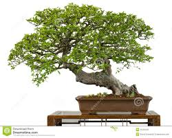 very old chinese elm as bonsai tree royalty free stock images