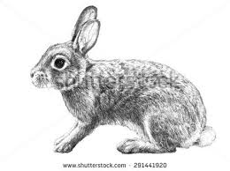 cottontail rabbit illustration hand drawn pencil stock