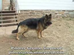 belgian shepherd dog price in pakistan large boned german shepherds ash sig sheba big boned german