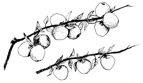 drawn branch apricot tree pencil and in color drawn branch