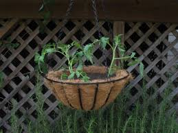 how to grow tomatoes in a hanging basket how tos diy