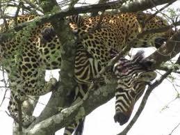 leopard kills zebra