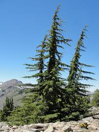 mountain hemlock common trees of alaska inaturalist org