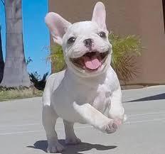affenpinscher in texas french bulldog for sale petsale inc