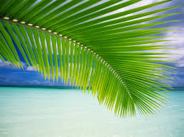 Palm Tree Wallpaper Palm Leaf Wallpaper Beaches Nature Wallpapers In Jpg Format For