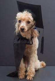 dog graduation cap and gown poodle in graduation cap and gown royalty free stock photo image
