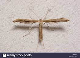 the plume moth emmelina monodactyla in its typical t shaped