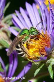 plants for native bees 116 best native plants herring run nursery images on pinterest