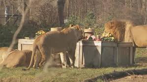 columbus zoo lions chow on thanksgiving dinner dessert wsyx