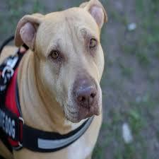 american pitbull terrier qualities blog
