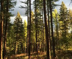 Montana forest images Montana forest management services westslope forest management jpg