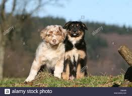 australian shepherd red merle dog australian shepherd aussie two puppies different colors red