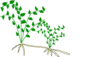 Vegetative Propagation By Roots - asexual reproduction in plants natural methods vegetative