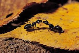 How To Kill Ants In The Kitchen by How To Get Rid Of Ants In Your Yard Naturally Home Guides Sf Gate