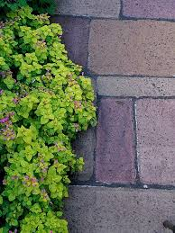 Backyard Ground Cover Options 136 Best Ground Covers Images On Pinterest Plants Landscaping